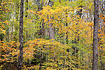 Autumn color in Beartown State Forest, Monterey, Berkshire Hills, MA, USA