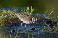 Killdeer (Charadrius vociferus) looking for food.  Western U.S., spring.