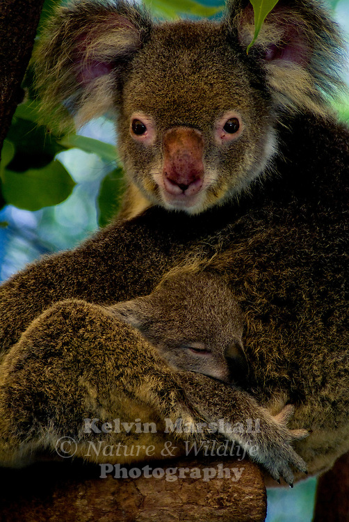 "The koala is a small bear-like, tree-dwelling, herbivorous marsupial which averages about 9kg (20lb) in weight. Its fur is thick and usually ash grey with a tinge of brown in places. ..The koala gets its name from an ancient Aboriginal word meaning ""no drink"" because it receives over 90% of its hydration from the Eucalyptus leaves (also known as gum leaves) it eats, and only drinks when ill or times when there is not enough moisture in the leaves. ie during droughts etc. ..The koala is the only mammal, other than the Greater Glider and Ringtail Possum, which can survive on a diet of eucalyptus leaves..."