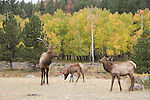 American elk, wapiti, Cervus elaphus, October, fall, autumn, afternoon, Beaver Meadows, Rocky Mountain National Park, Colorado, USA