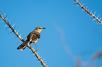 Northern Mockingbird, Mimus polyglottos, in the Phoenix Mountains Preserve near Phoenix, Arizona