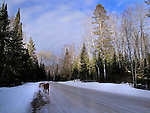 A golden lab walks along a dirt road in the Chequamegon National Forest in northern Wisconsin.
