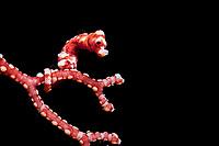 East Indonesia, Raja Ampat, Hippocampus denise, Pygmy seahorses, Pacific Ocean