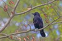 Rabenkrähe, Aaskrähe, Raben-Krähe, Aas-Krähe, Krähe, Krähen, Corvus corone corone, Corvus corone, carrion crow, crow, crows, La Corneille noire