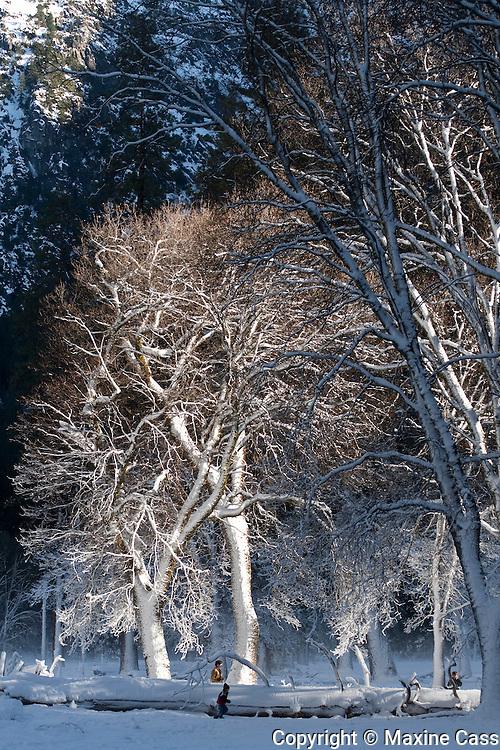 Sunny Winter Snowplay in Yosemite National Park, California, United States of America
