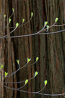 Dogwood tree with budding leaves in bloom with merced River. Yosemite National Park, California