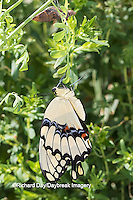 03017-00916 Giant Swallowtail butterfly (Papilio cresphontes) newly emerged, Marion Co., IL