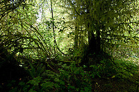 Moss covered trees, West coast highway, between Sook and Port Renfrew.Vancouver Island, British Columbia, Canada.