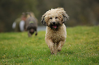 FAO JANET TOMLINSON, DAILY MAIL PICTURE DESK<br />Pictured: A dog runs in one of the fields Monday 14 November 2016<br />Re: The Dog House in the village of Talog, Carmarthenshire, Wales, UK