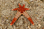 Necklace sea star  (Fromia monilis)