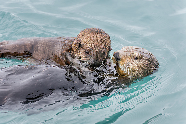 Sea Otter (Enhydra lutris) mom with young pup in sheltered bay on Prince William Sound, Alaska.  Spring.