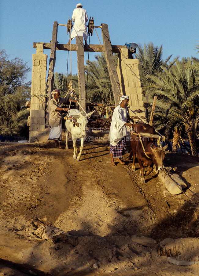 Muscat, Oman.  Muscat Festival.  Demonstrating Traditional Way of Using Cattle to Draw Water from a Well.