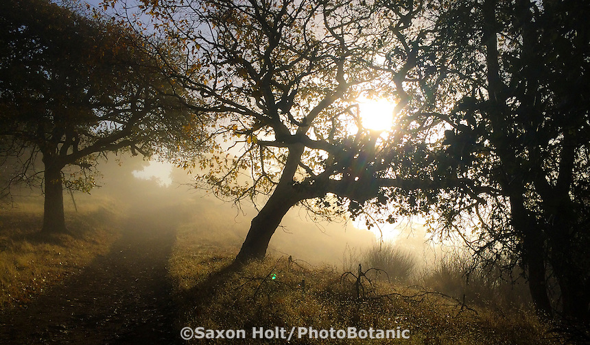 Cherry Hill Novato with California native Oaks in tule fog in morning light