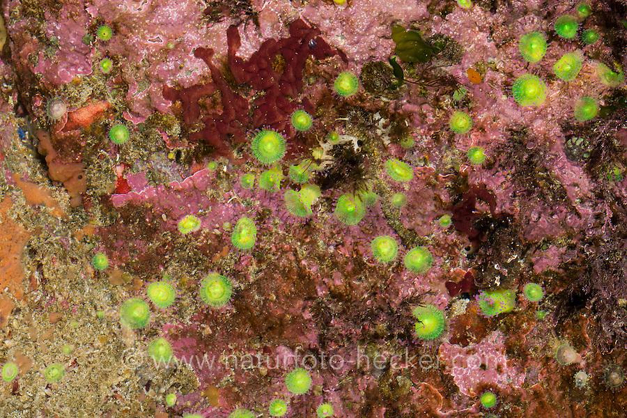 Juwelenanemone, Juwelen-Anemone, Korallenanemone, Korallen-Anemone, Corynactis viridis, jewel anemone, L'Anémone-bijou, Anthozoa, Blumentier, Blumentiere, Seeanemonen, sea anemone, sea anemones
