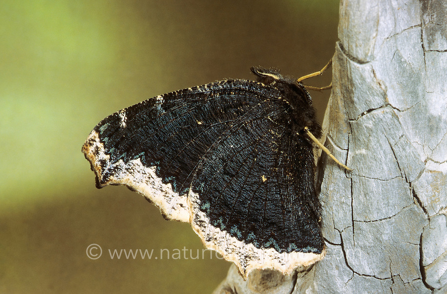 Trauermantel, Nymphalis antiopa, Mourning Cloak, Camberwell Beauty, Grand Surprise, White Petticoat, Edelfalter, Nymphalidae