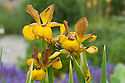 Iris 'Wyoming Cowboys', end June.