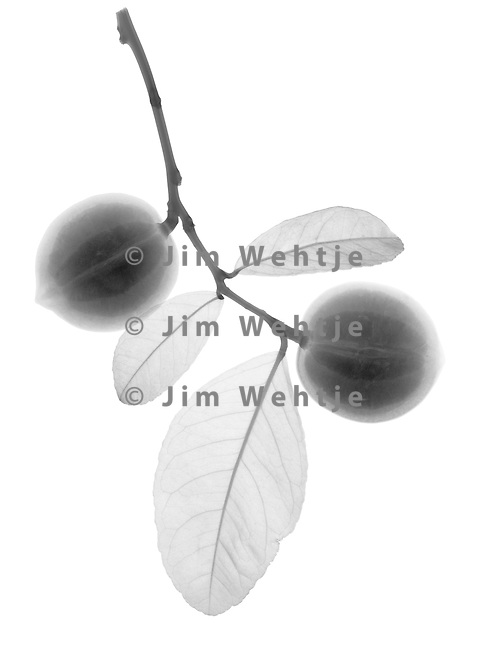 X-ray image of immature Meyer lemons (black on white) by Jim Wehtje, specialist in x-ray art and design images.