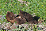 Grizzly bear sow nursing yearling cub. Yellowstone National Park, Wyoming.