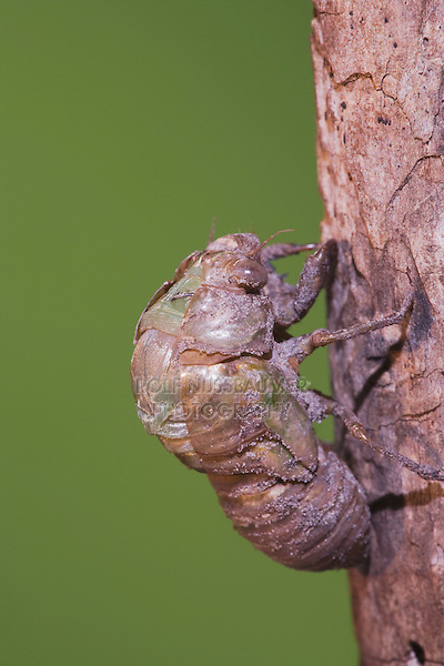 Cicada (Tibicen resh), adult emerging from nymph skin, Sinton, Corpus Christi, Coastal Bend, Texas, USA