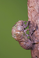Cicada (Tibicen resh), adult emerging from nymph skin, Sinton, Corpus Christi, Coastal Bend, Texas, USA