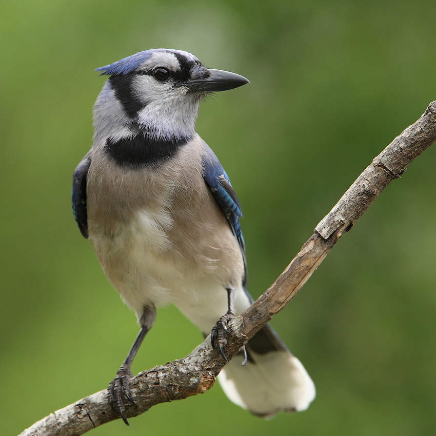 I've observed the Blue Jay up close &amp; personal for years, they never fail to impress me with their intelligent &amp; curious behavior..<br /> As is characteristic of all birds in the corvidae family.