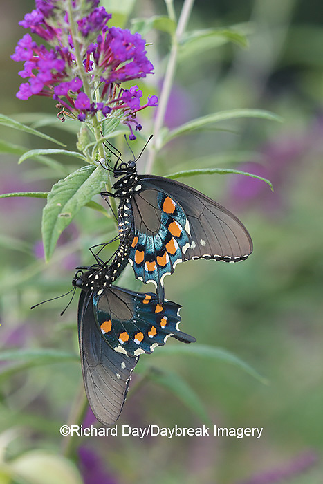 03004-01503 Pipevine Swallowtail (Battus philenor) male and female mating on Butterfly Bush (Buddleja davidii) Marion Co. IL