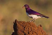 I was concentrating on photographing a hovering Black-shouldered Kite and had positioned myself waiting for it to come closer.  Then I noticed some other bird activity right in front of me on the ground; a female Plum-coloured Starling was chasing off a Familiar Chat from a little termite mound and started feeding on termites. A minute later, after the Starling left, the Chat was back having a feast. Next it was the turn for two little Blue Waxbills, which in turn were chased off by a beautiful male Plum-coloured starling (a.k.a Violet-backed Starling or Amethyst Starling - Cinnyricinclus leucogaster). I was amazed at how many termites this fellow managed to collect at a time. The year sure started off with some good pickings for him!.I never got to photograph the Kite, but I did not mind really; I will get that image some other time..Techs: Canon 1Dmk4 + EF500mm f/4L IS USM lens with 1.4x TC; 1/1250 sec. @ f/7.1, ISO 800..