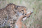 Cheetah, Acinonyx jubatus, killing young impala, Aepyceros melampus, Phinda private game reserve, Kwazulu Natal, South Africa