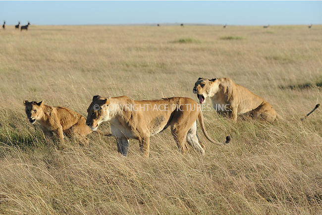 WWW.ACEPIXS.COM<br /> March 5, 2016 New York City<br /> <br /> Masai lion or East African lion seen in Maasai Mara National Reserve on March 5, 2016 in Kenya.<br /> <br /> Credit: Kristin Callahan<br /> web: http://www.acepixs.com