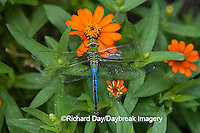 06361-006.10 Common Green Darner (Anax junius) male on Orange Profusion Zinnia, Marion Co.  IL