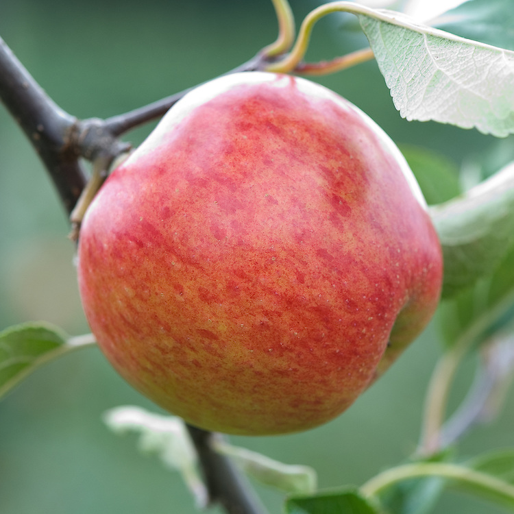 Apple 'Meridian', mid September. A modern English dessert apple from Kent. First introduced in 1999.