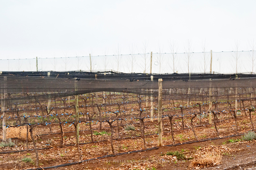 Vines trained in cordon Royat and net protection to shield from birds and hail, wind breaker in the background, irrigation tubes on the ground Bodega Del Fin Del Mundo - The End of the World - Neuquen, Patagonia, Argentina, South America