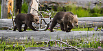 Young grizzly bear cubs on log. Yellowstone National Park, Wyoming.