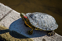 A red-eared slider turtle at the edge of the duck pond at San Lorenzo Park on a sunny afternoon in Northern California.