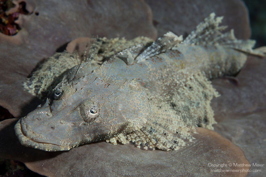 Florida Islands, Solomon Islands; a crocodile flathead fish resting on a large sponge