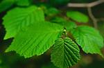 ADFTP3 Common Hazel tree leaves