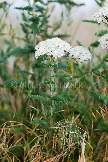 Wild Yarrow in Montana