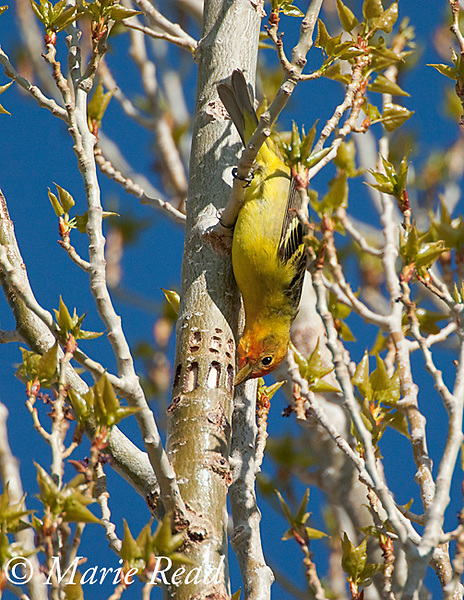 Western Tanager (Piranga ludoviciana), male hanging upside down to feed from drillings (sap wells) made by Red-breasted Sapsucker, Mono Lake Basin, California, USA