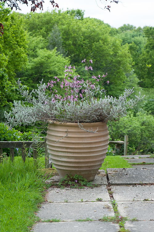 Container planted with Ragged robin (Lychnis flos-cuculi) and Helichrysum microphyllum, late May.