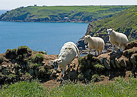 Sheep grazing near the coast.