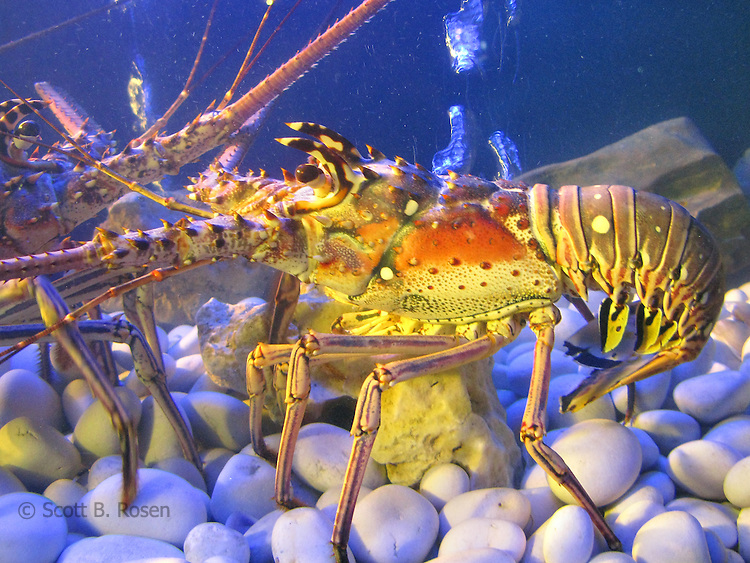 Lobsters fighting in a tank.