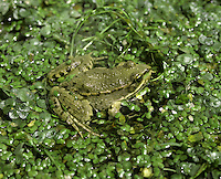 Marsh Frog Pelophylax ridibunda Length 11-13cm Relatively large and impressive frog, adults of which are often strikingly green with warts and dark spots. When singing (a croaking Whoa-aa-aa-aa) a male shows grey vocal sacs. Extremely tied to water, favouring still or very slow-flowing channels. Introduced to and established in coastal marshes in SE England.