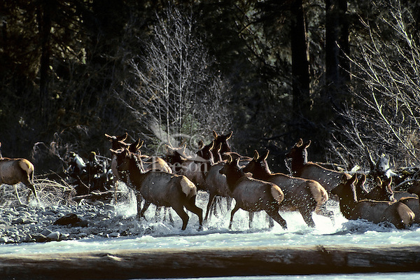 Roosevelt Elk herd crossing Hoh River.  Olympic National Park Rain Forest, WA.  Spring.