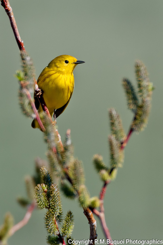 Yellow Warbler on Willow Branch