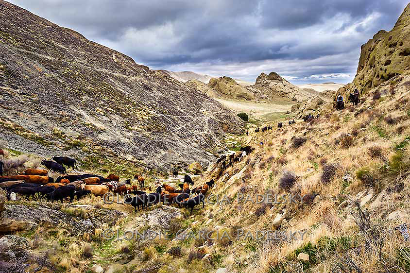 Cowboys herding cattle in canyon. Kern County, California