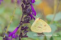 03091-00817 Cloudless Sulphur (Phoebis sennae) at Amistad Salvia (Salvia amistad) in Marion County, IL