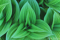 The leaves of False Hellebore or 'Indian Poke' emerge lush and green in the spring along New England Stream banks.