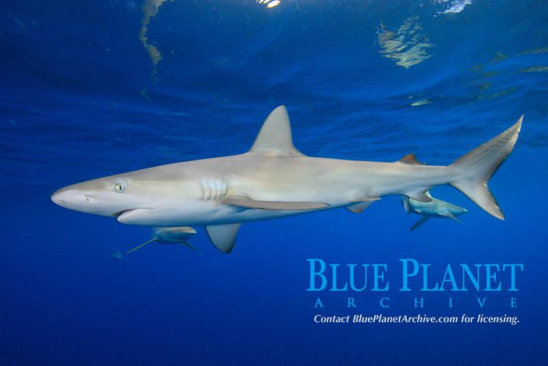 Dusky shark, Carcharhinus obscurus, Chichi-jima, Bonin Islands, Ogasawara Islands, Natural World Heritage Site, Tokyo, Japan, Pacific Ocean