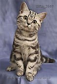 Carl, ANIMALS, photos(SWLA3067,#A#) Katzen, gatos