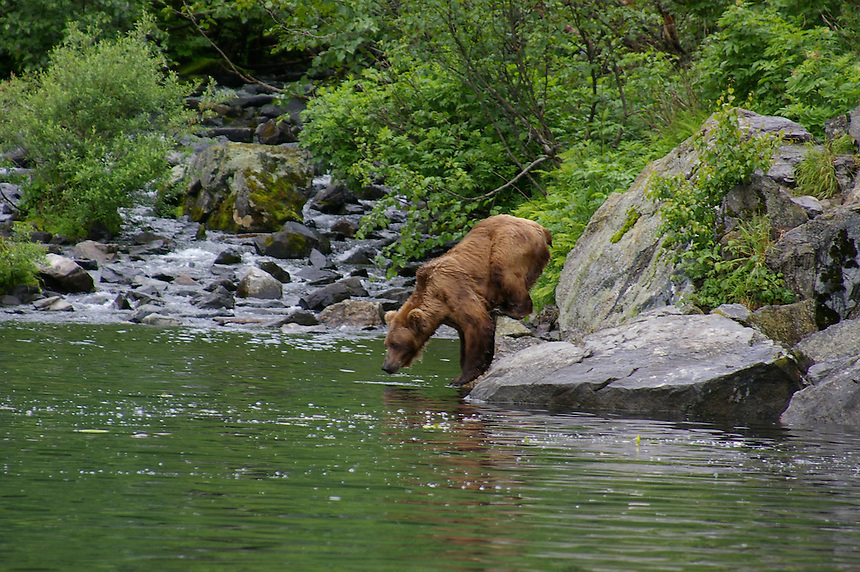 Brown bear diving for sockeye salmon, Wolverine Creek near Soldotna, Alaska